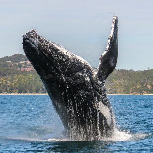 Humpback-Whale-Port-Macquarie-CTA-Header