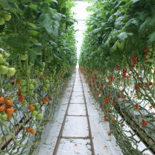 ricardoes-tomatoes-and